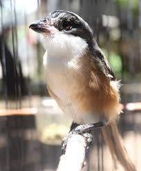 Cara Paling Efektif Memelihara Anakan Burung Cendet Block Wahyudi Punya